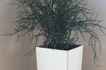 Begrünung mit Euphorbia Tirucalli